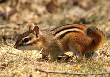 Free Striped Chipmunk Royalty Free Stock Photography - 13715527