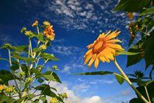 Free Sunflower Stock Image - 13716041