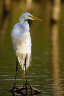 Great Egret ( Casmerodius Albus ) Stock Images
