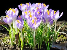 Free Spring Crocus Royalty Free Stock Photos - 13717698