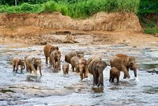 Flock Of Elefants Are Crossing The River Royalty Free Stock Images