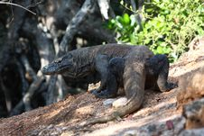 Komodo Dragon Royalty Free Stock Photo