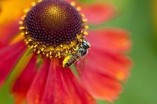 Free Bee Collecting Pollen Stock Photos - 13718933