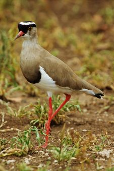 Free Crowned Plover Stock Images - 13719044