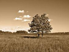 Free Oak On Field Royalty Free Stock Photos - 13719688