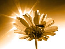 Free Chrysanthemum Stock Image - 13719691