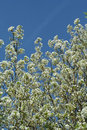 Free Blooming Tree Stock Photo - 13720140