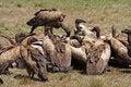 Free Vultures On Zebra Carcass, Masai Mara, Kenya Royalty Free Stock Photos - 13723328