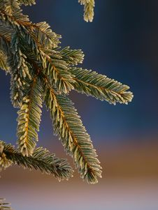 Free Spruce Branch Royalty Free Stock Image - 13720086