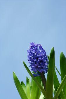 Free Spring Hyacinths Royalty Free Stock Photos - 13720128