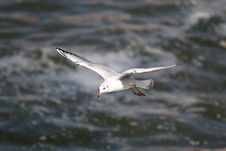 Free Sea-gull Royalty Free Stock Image - 13721266