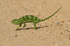 Free Chameleon Royalty Free Stock Images - 13721719