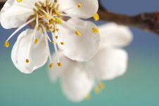 Free Cherry-flower Royalty Free Stock Photos - 13722588