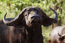 Free Cape Buffalo Stock Photos - 13722773