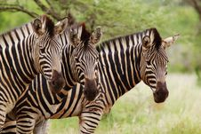 Free Zebra Stripes Stock Images - 13722864
