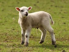 Free Spring Lamb Royalty Free Stock Images - 13723129