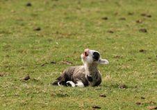 Free Spring Lamb Stock Image - 13723141