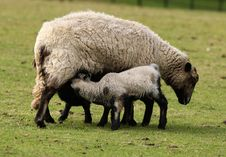 Free Spring Lamb Stock Photography - 13723172