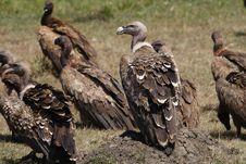 Free Rüppell S Griffon Vulture, Masai Mara, Kenya Stock Photos - 13723313