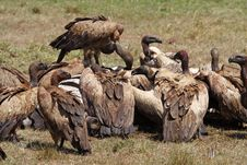 Vultures On Zebra Carcass, Masai Mara, Kenya Royalty Free Stock Photos