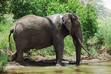 Free Drinking Elephant Royalty Free Stock Photo - 13723955