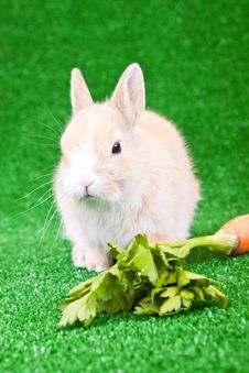 Free Domaestic Rabbit And Carrot Stock Image - 13724451