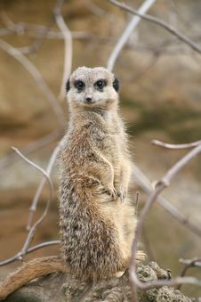Free Meerkat Stock Image - 13724601