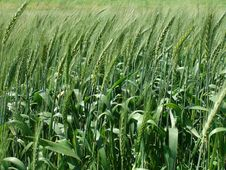 Free Wheat Field Stock Photos - 13724743