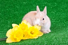 Free Rabbit And Yellow Narcissus Royalty Free Stock Photography - 13724977