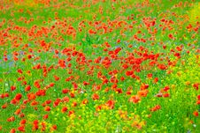 Free Poppy Field Stock Photos - 13725243