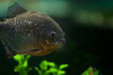 Free Big Grey Aquarium Piranha Royalty Free Stock Images - 13725249