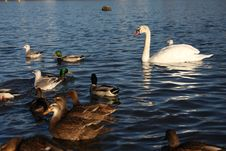 Free White Swan Stock Images - 13725534