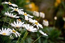 Free White Daisies Royalty Free Stock Photography - 13725657