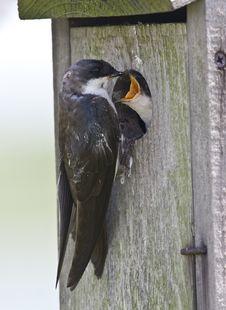 Free Tree Swallow(iridoprone Bicolor) Stock Photos - 13726303