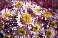 Free Pink And Yellow Daisies Stock Images - 13726454