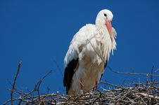 Free White Stork In Switzerland Stock Photography - 13729672
