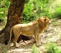 Free Lion Stock Photos - 13732543
