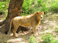 Free Lion Royalty Free Stock Photo - 13732555