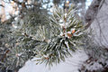 Free Pine In Hoarfrost Royalty Free Stock Photography - 13734947