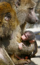 Free Baboon Monkey Feeding Baby Stock Image - 13738811