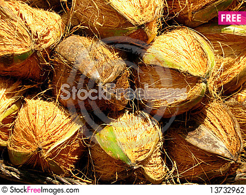 Free Coconuts Stock Photography - 13732962