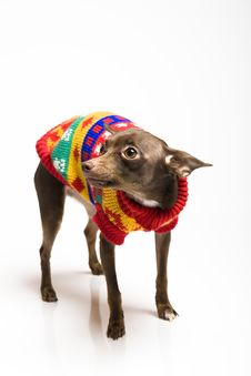 Picture Of A Funny Curious Toy Terrier Dog Stock Image