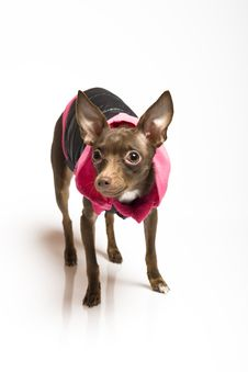 Picture Of A Funny Curious Toy Terrier Dog Stock Images