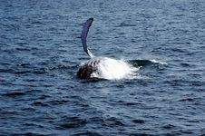 Humpback Whale Royalty Free Stock Image
