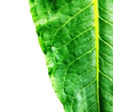 Free Plant On White Royalty Free Stock Photos - 13731498