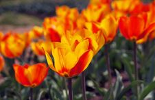 Blooming Tulips Royalty Free Stock Photos