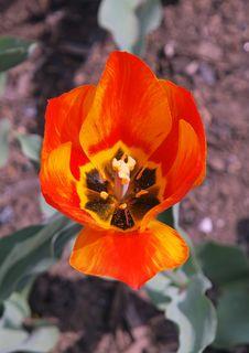 Free Blooming Tulip Stock Image - 13734181