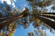 Free Trees In Formation Royalty Free Stock Photography - 13734717