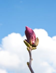 Free Purple Magnolia Royalty Free Stock Image - 13734826