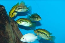 Free Cichlids Group In Aquarium Royalty Free Stock Images - 13734919